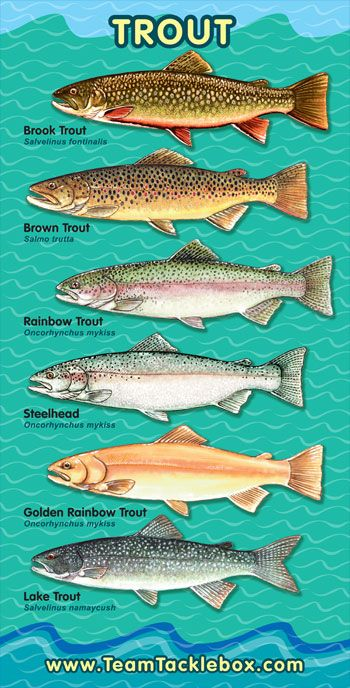 Trout Identification Chart