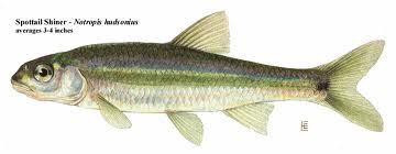 How to Catch Walleyes Without Spottail Shiners…